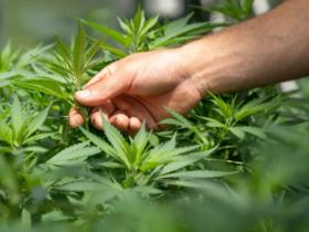 スコッツ・ミラクル・グロー 大麻栽培関連として注目を浴びるガーデニング企業